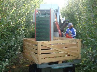 Сортиране на събраните ябълки от градината на MELISA SANDANSKI