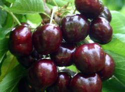 Череши-Блек-Стар-от-Мелиса-Сандански-Cherry-varieties-Black_Star-cherries-from-melisa-sandanski