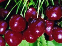 Череши-Реджина-от-Мелиса-Сандански-Cherry-varieties-Reggina-cherries-from-melisa-sandanski