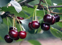 Череши-Craze-Star-от-Мелиса-Сандански-Cherry-varieties-Craze-Star-cherries-from-melisa-sandanski