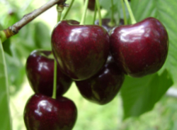 Череши-kordia-Сортове-ЧЕРЕШИ-от-Мелиса-Сандански--Cherry-varieties-kordia-cherries-from-melisa-sandanski-bulgaria